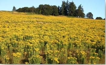 желтые соцветия пижмы