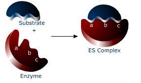 состав энзимов
